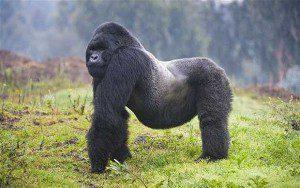 Gorilla parks
