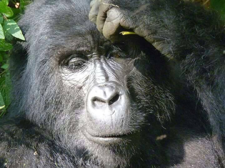 Ngamba chimpanzee Island and Bwindi gorilla safari for 4 days