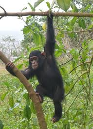 Chimpanzee Tracking in Uganda's best primate park Kibale National Park