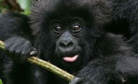 Rwanda Gorilla Trekking Safari Tour one Day