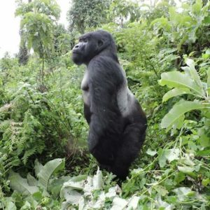 Budget Bwindi Gorilla trekking , Rwanda Gorilla Permits