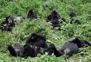 Budget Bwindi Gorilla trekking