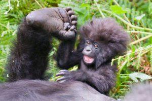 Gorilla Naming in Rwanda
