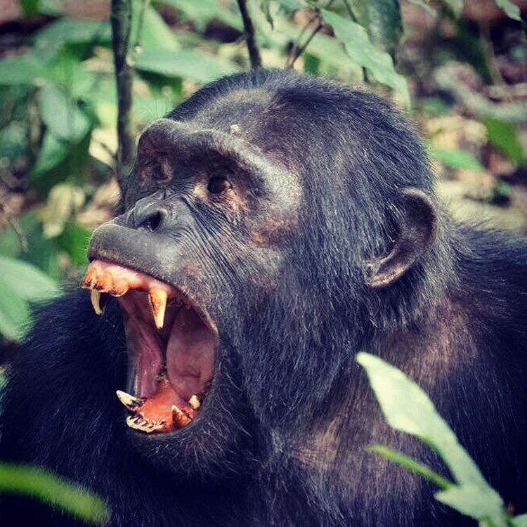 Uganda Chimpanzee Tours and Chimpanzee Safaris