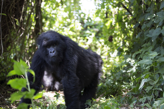 3 Days Gorilla Trekking on Christmas Day to Bwindi Forest Uganda