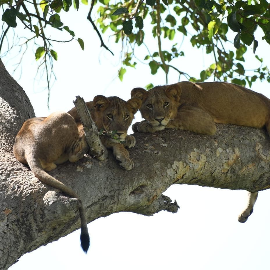 Tree Climbing Lions in Ishasha Sector in Uganda Queen Elizabeth Park