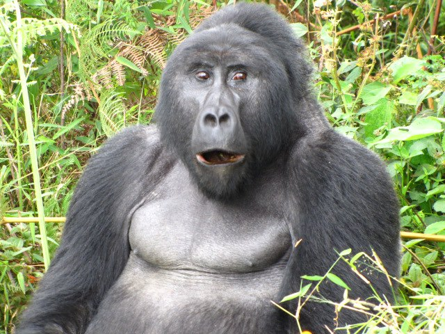 Budget Gorilla Trekking and Gorilla Tracking Safari Tours