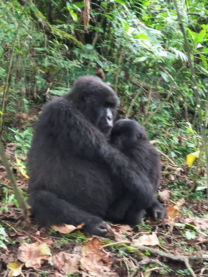 2 Days Gorilla Trekking Uganda Starting From $1050 in Bwindi Forest Park