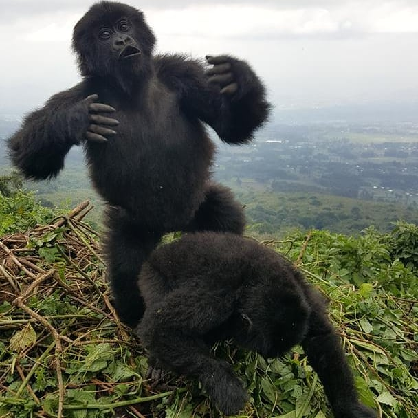 Visit Gorillas in Uganda Bwindi Forest National Park