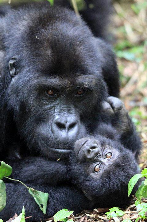 Book Congo Gorilla Permits for Kahuzi Biega and Virunga National Park
