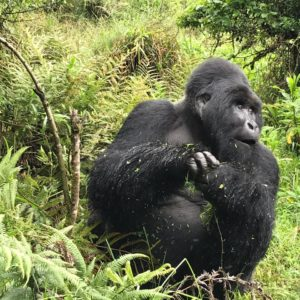 2 Days Gorilla Trekking Uganda, 2 Days Gorilla Safari