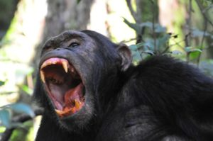 Chimpanzee viewing in Ngamba Island