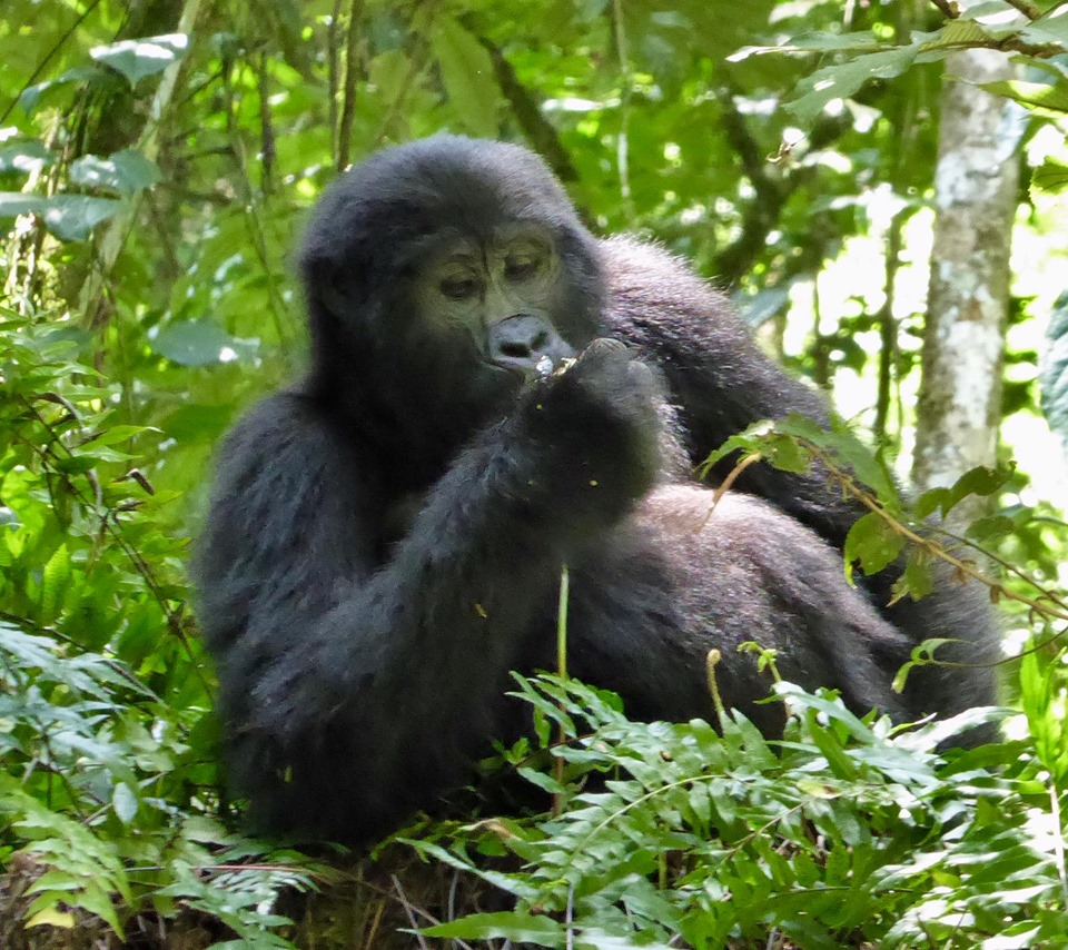 Bwindi Gorilla Trekking and Queen Elizabeth Wild life Tour 5 Days