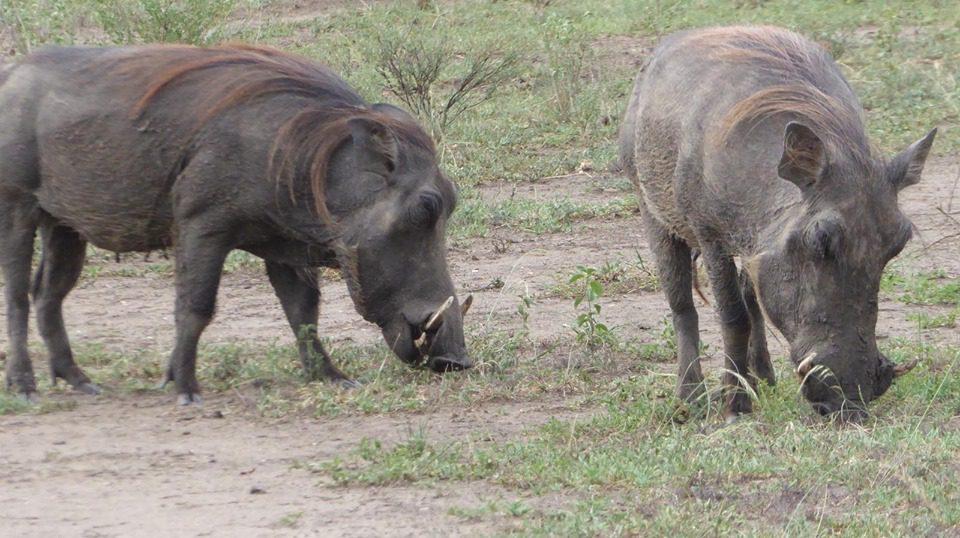 Bwindi Primate Safari and Queen Elizabeth Park Uganda Safaris 5 Days