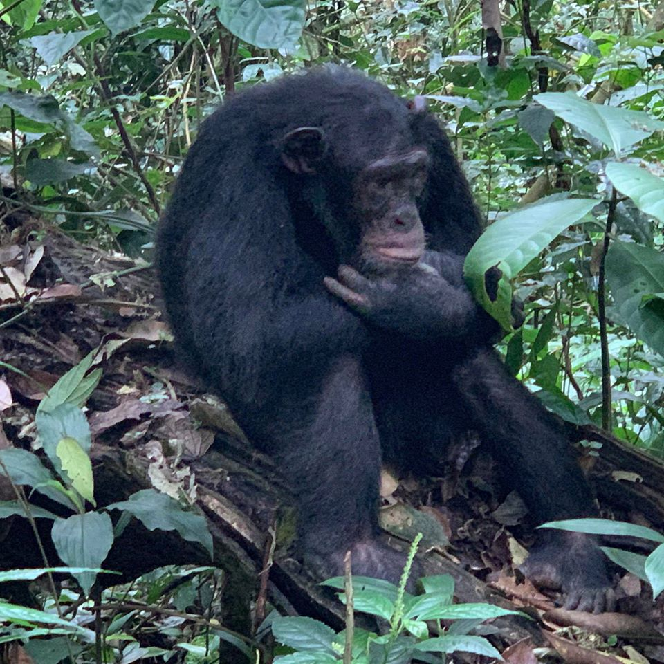Chimpanzee Tours and Chimpanzee Safaris in Uganda