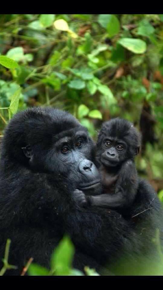 1 Day Gorilla Trekking Rwanda cost $1890 in Parc des Volcanoes