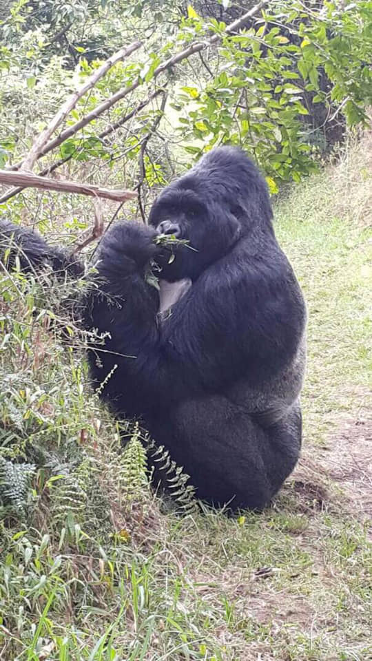 1 Day Gorilla Trekking Uganda in Mgahinga National Park for Gorilla Tour