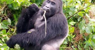 2 Days Rwanda Gorilla Trekking