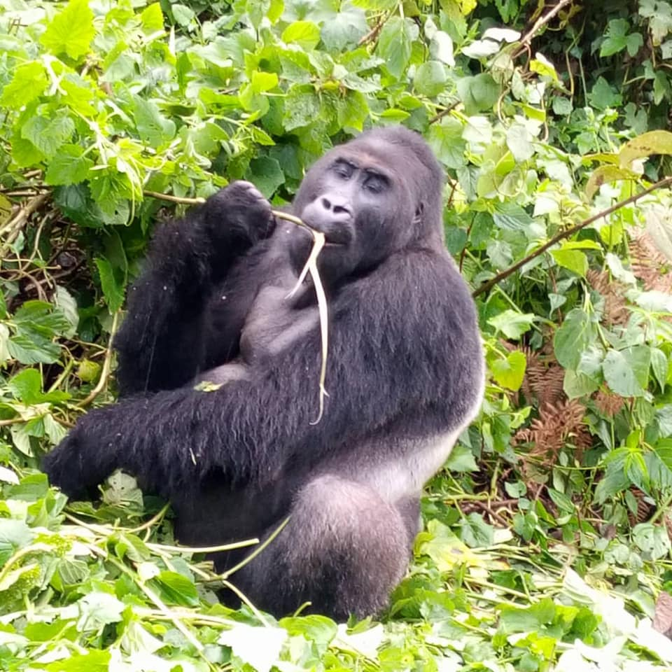 2 Days Gorilla Trekking Rwanda Gorilla Trip in Volcanoes National Park