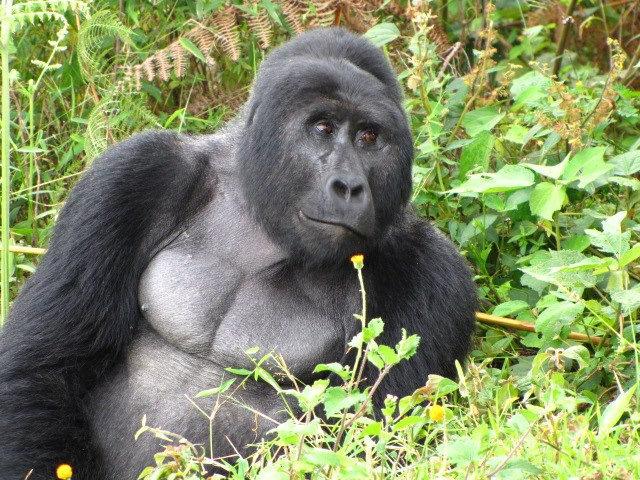 Double Gorilla Trek Uganda and Rwanda in Gorilla Parks for 7 Days
