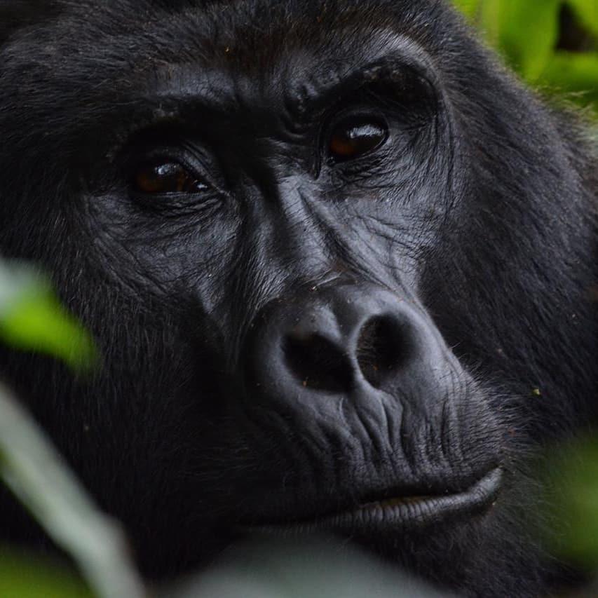 Gorilla Trekking Tips and Advise for Uganda, Rwanda and Congo
