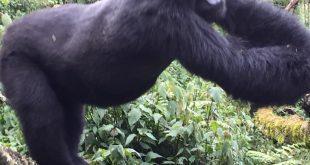 Mountain Gorilla National Parks
