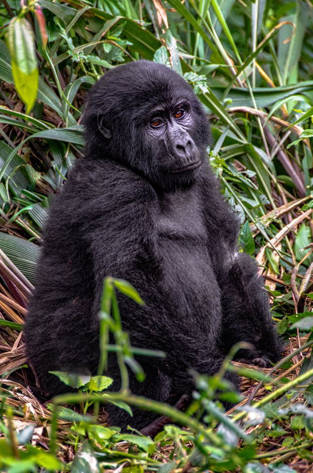 2DaysGorilla Tour Rwanda in Volcanoes National Park Rwanda