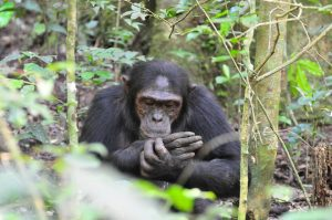Chimpanzee Tracking in Nyungwe