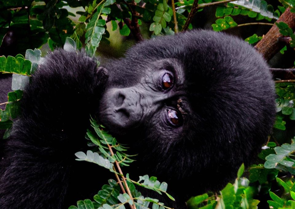 Double Gorilla Trek in Uganda Bwindi Forest 4 Days