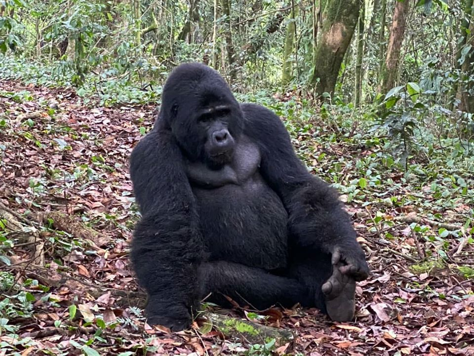 Gorilla Tours and Gorilla Trekking in African Gorilla National Parks