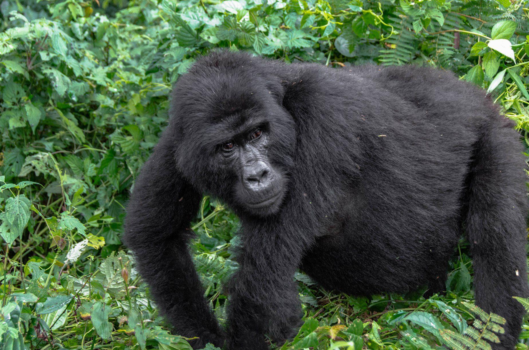 Gorilla Permit Cancellation Refund Policy in Rwanda and Uganda