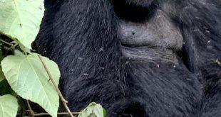 Gorilla Trekking in Congo