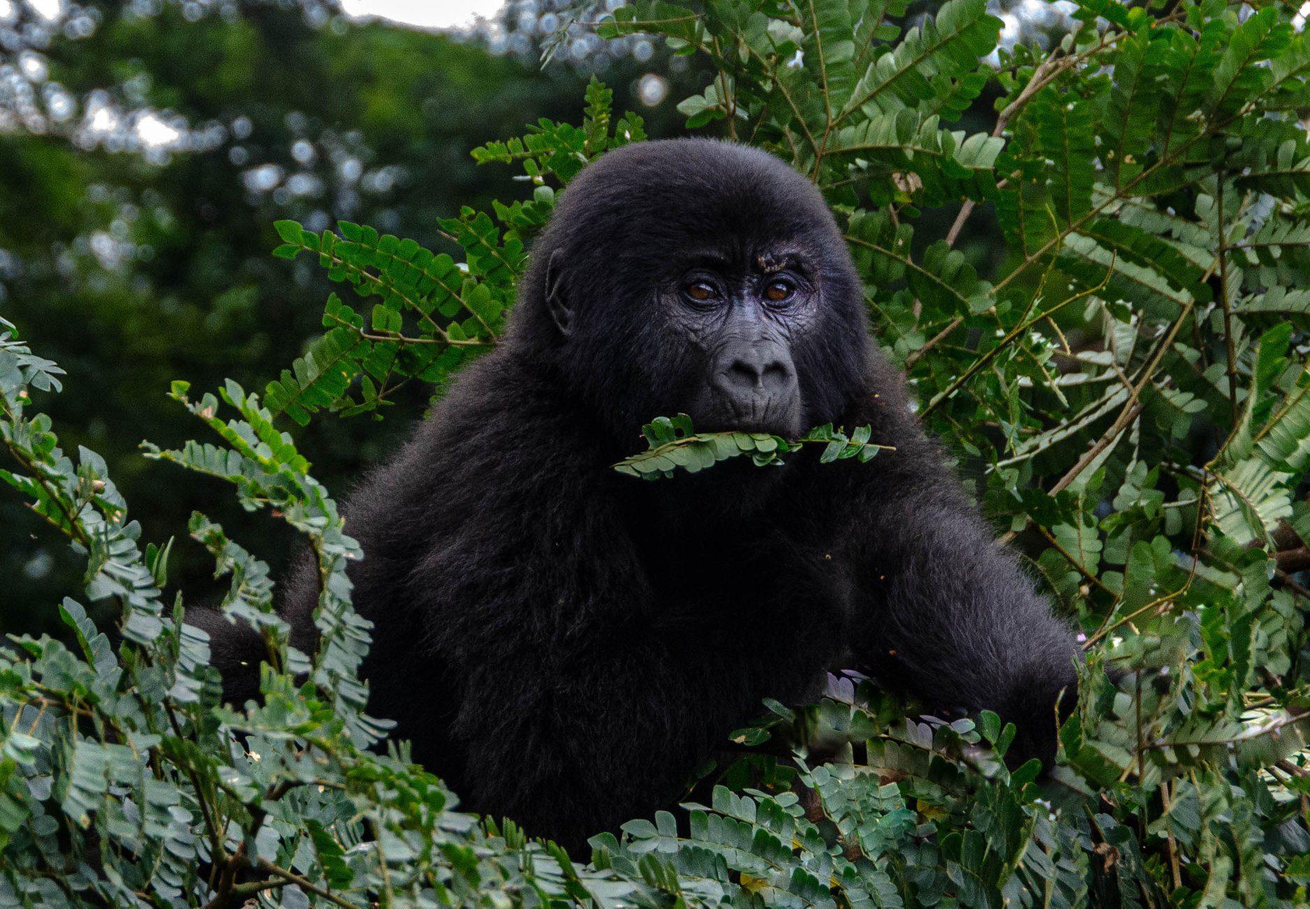1Day Gorilla Tracking Bwindi Impenetrable Forest National Park Uganda