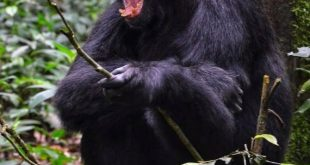 3Days Chimpanzee Tracking Uganda