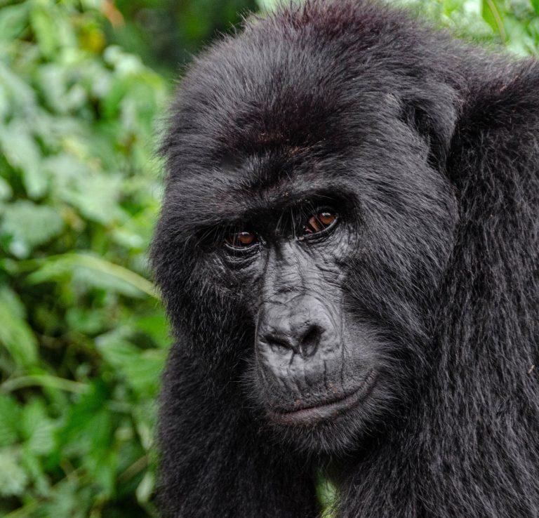 Triple Gorilla Tour
