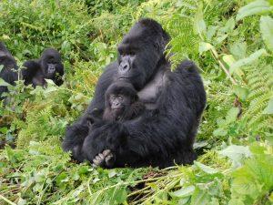Double Gorilla Trek