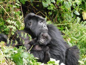 Short Gorilla Trek Rwanda