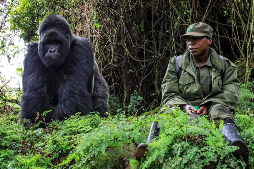 3Days cheapest Gorilla Trekking in Uganda festive season 50% discount