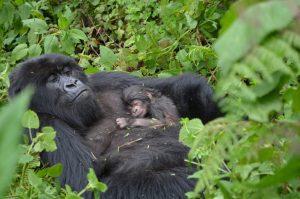 3days cheapest gorilla trekking