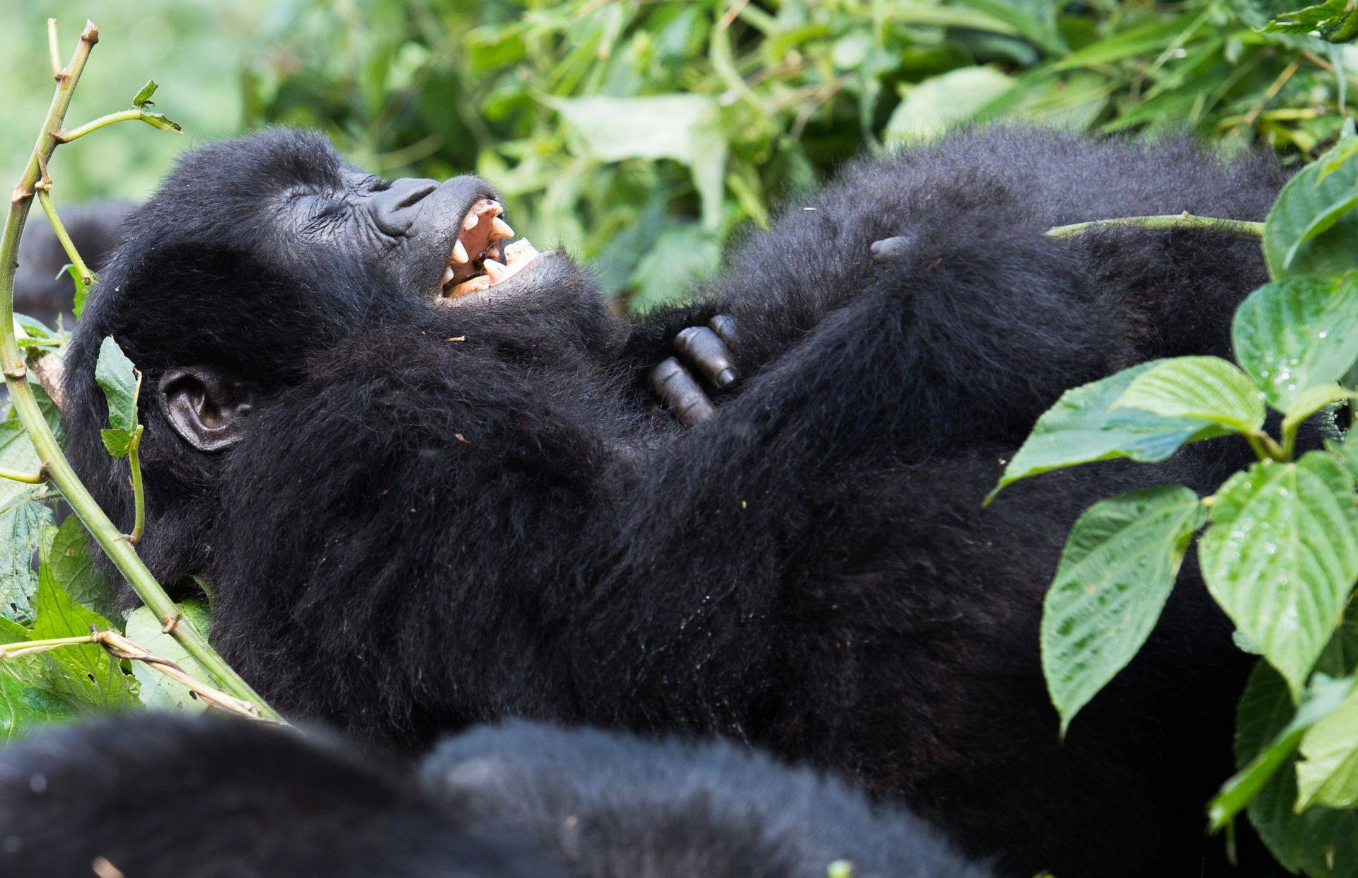 Best time to go Gorilla Trekking in Rwanda