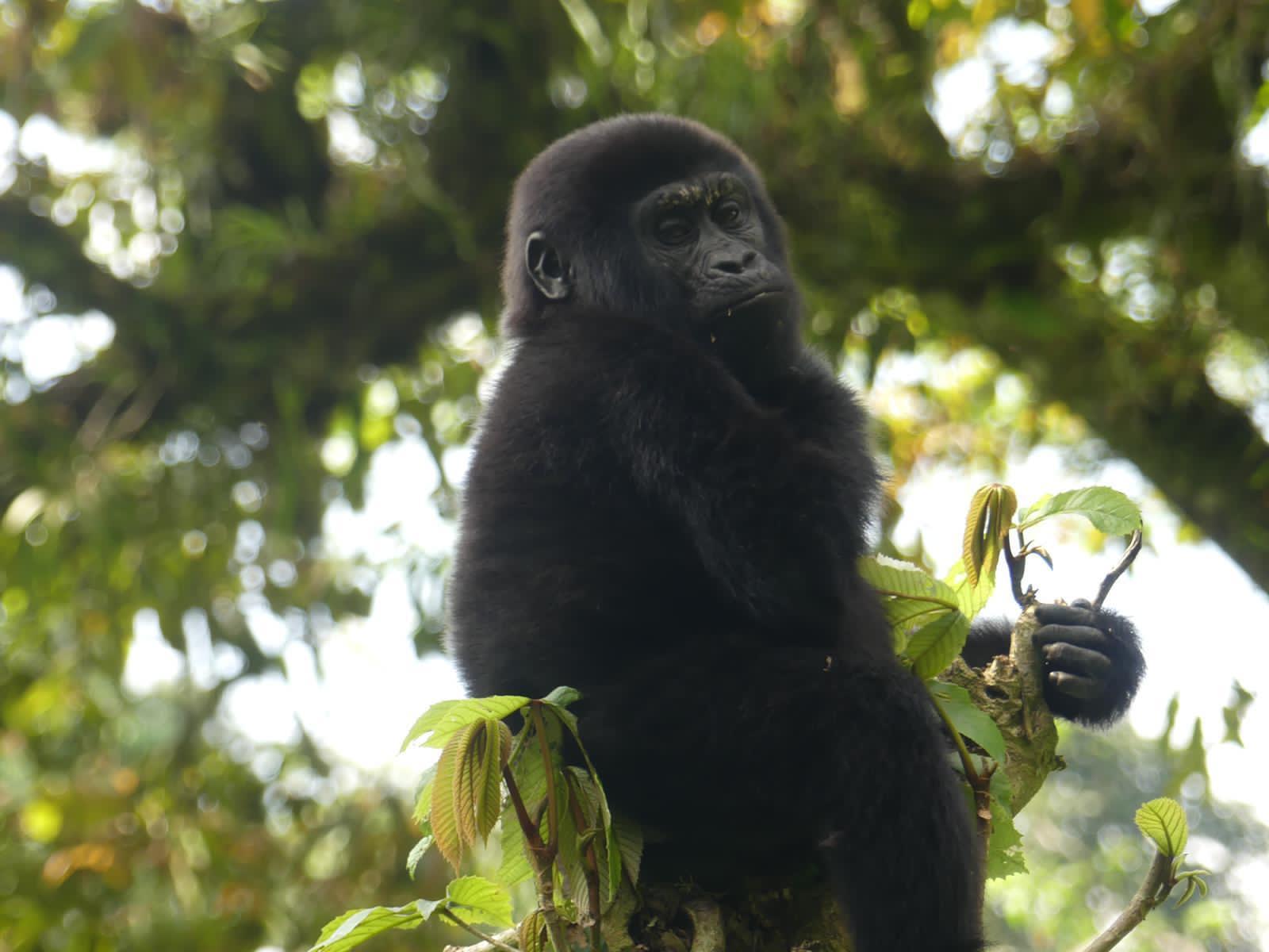 How difficult is the gorilla trek in Uganda?