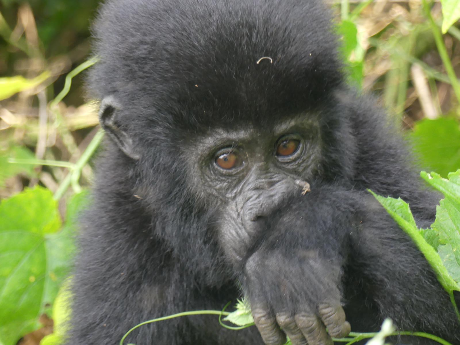 How much does it cost to see the gorillas in Rwanda?