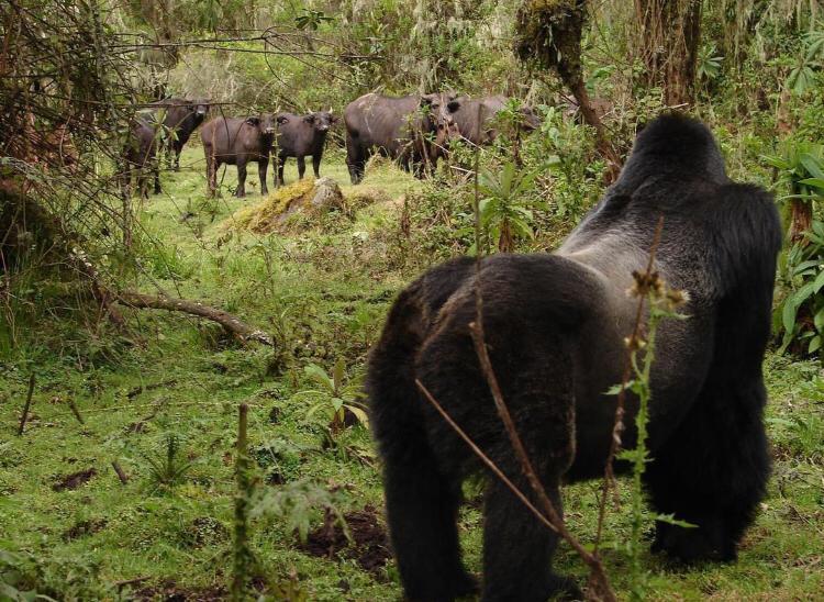 Is Uganda or Rwanda better for Gorilla Trekking?
