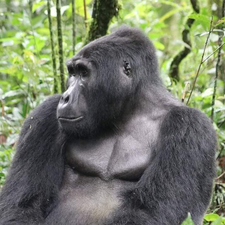 What is the difference between gorilla tracking and gorilla habituation?