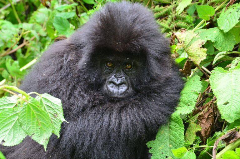 What is the minimum age for gorilla trekking in Uganda?
