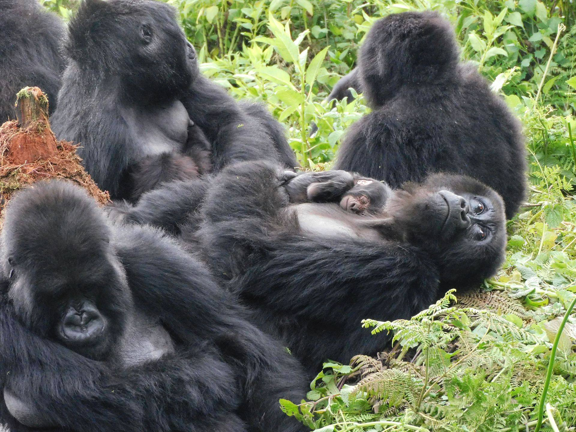 Uganda gorilla trekking best time to go